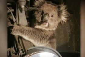 ausztrália, vicces, videó