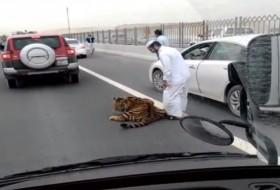 katar, tigris, videó